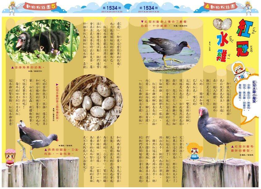 04-05 動物粉絲團 紅冠水雞