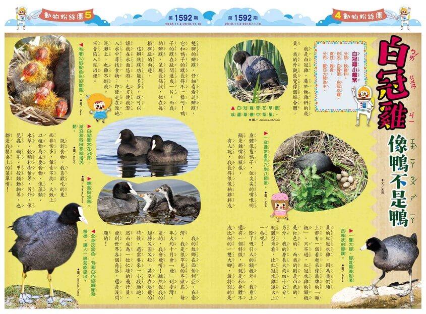 04-05 動物粉絲團 白冠雞 像鴨不是鴨