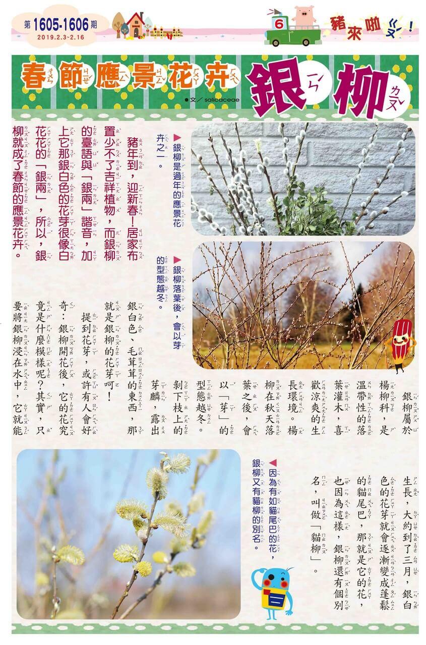 06 豬來啦!ㄍㄡˊ 春節應景花卉 銀柳
