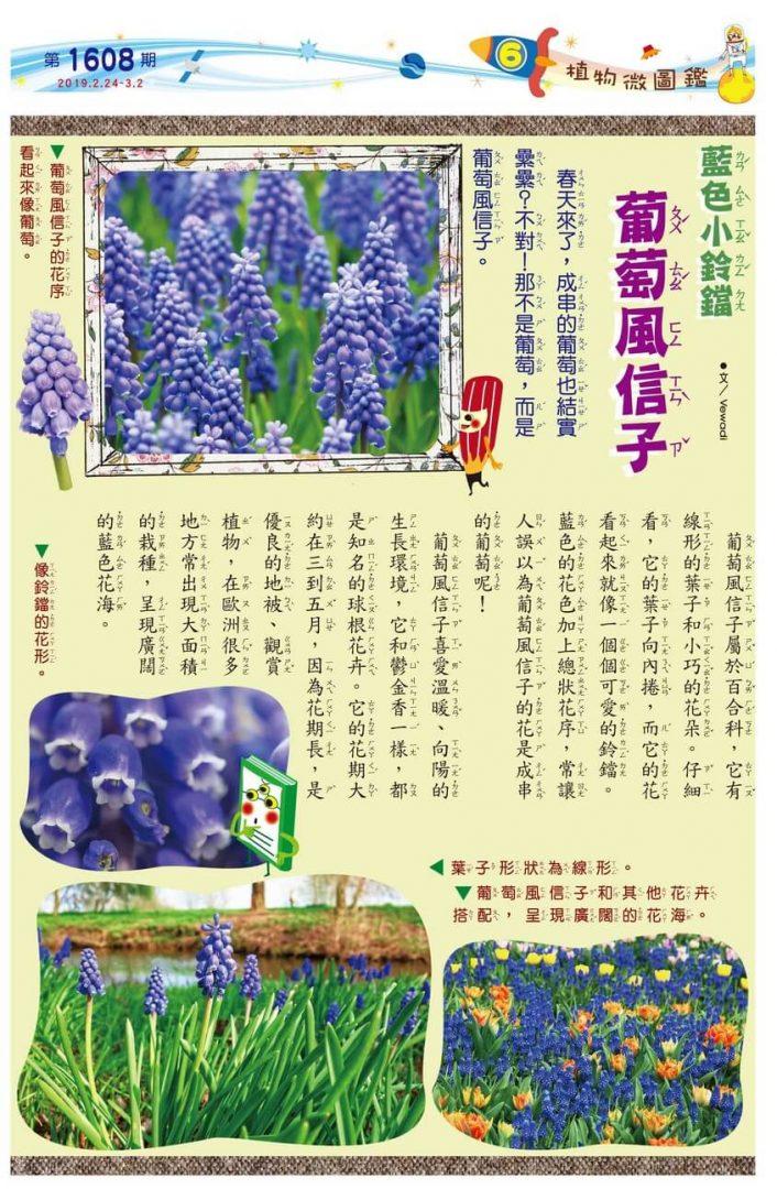 06 植物微圖鑑 藍色小鈴鐺 葡萄風信子